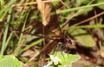 Bronzene Prachtlibelle, Calopteryx haemorrhoidalis, ein heranreifendes Männchen übt das Balzen.
