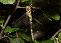Zweigestreifte Quelljungfer, Ssp. Cordulegaster boltonii immaculifrons, Weibchen nach dem Jungfernflug.