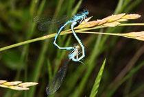 Helm - Azurjungfer, Coenagrion mercuriale, Kopula mit einem Weibchen in blauer Variante.