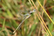 Ein Männchen der Kleinen Binsenjungfer, Lestes virens, befüllt seine Samentasche. Das Weibchen bleibt dabei angekoppelt.