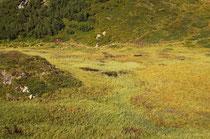 Lebensraum der Alpen-Mosaikjungfer, Aeshna caerulea, (2)