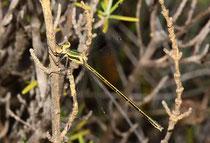 Kleine Binsenjungfer, Lestes virens, junges Weibchen.