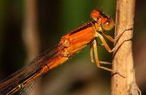 """Kleine Pechlibelle, Ischnura pumilio, junges Weibchen der """"forma aurantiaca"""" (2)."""