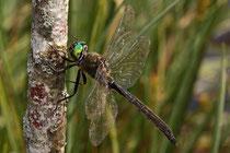 Alpen-Smaragdlibelle, Somatochlora alpestris, erwachsenes Männchen (4)
