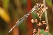Gemeine Winterlibelle, Sympecma fusca, junges Männchen (2).