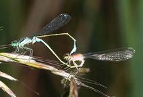 """Großen Pechlibelle, Ischnura elegans, Kopula mit einem Weibchen der """"forma rufencens""""."""