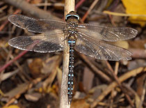 Herbst-Mosaikjungfer, Aeshna mixta, altes Männchen.