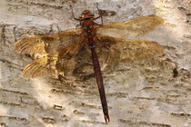 Adultes Männchen von Aeshna grandis (4).