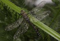 Herbst-Mosaikjungfer, Aeshna mixta, frisch geschlüpftes Weibchen im Regen.