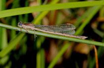 Gemeine Winterlibelle, Sympecma fusca, altes Weibchen. Beachte die in der oberen Hälfte blau gefärbten Augen.