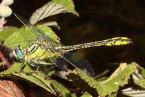 Gelbe Keiljungfer, Gomphus simillimus, erwachsenes Männchen (2).