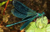 Gebänderte Prachtlibelle, Calopteryx splendens, erwachsenes, balzendes Männchen.