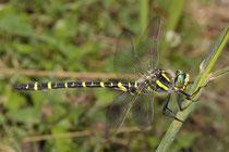 Zweigestreifte Quelljungfer, Cordulegaster boltonii, erwachsenes Männchen (1).