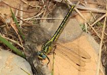 Gelbe Keiljungfer, Gomphus simillimus, erwachsenes Weibchen (2).