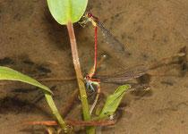 Frühe Adonislibelle, Pyrrhosoma nymphula, Eiablage.