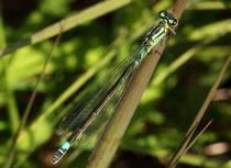Hauben - Azurjungfer, Coenagrion armatum, erwachsenes Weibchen (1).