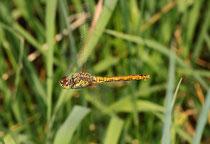 Ein einzelnes Weibchen bei der Eiablage im Flug.