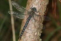 Früher Schilfjäger, Brachytron pratense, erwachsenes Männchen (1).
