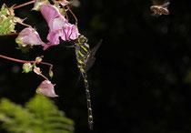 Zweigestreifte Quelljungfer, Cordulegaster boltonii, erwachsenes Männchen mit Honigbiene im Anflug.