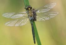 Glänzende Smaragdlibelle, Somatochlora metallica, Männchen nach dem Schlüpfen (3).