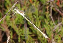 Glänzende Binsenjungfer, Lestes dryas, reifes Weibchen.