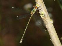 Gemeine Weidenjungfer, Chalcolestes viridis, junges Weibchen.