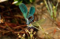 """""""Aufreiten"""" des Männchens bei einem paarungsbereiten Weibchen der Gebänderten Prachtlibelle, Calopteryx splendens."""