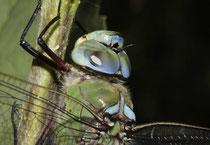 Große Königslibelle, Anax imperator, erwachsenes Männchen, Kopfstudie.