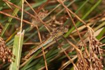 Südliche Heidelibelle, Sympetrum meridionale, Eiablage durch das Weibchen alleine (1).