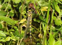 Zweigestreifte Quelljungfer, Ssp. Cordulegaster boltonii immaculifrons, Weibchen beim Schlupf.