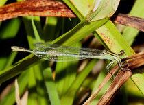 Pokal - Azurjungfer, Erythromma lindenii, erwachsenes Weibchen (2).