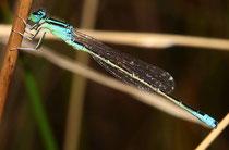 Kleine Pechlibelle, Ischnura pumilio, erwachsenes Männchen.