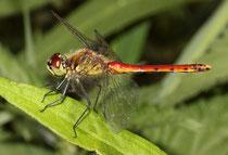Sumpf-Heidelibelle, Sympetrum depressiusculum, erwachsenes Männchen, Seitenansicht.