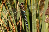 Herbst-Mosaikjungfer, Aeshna mixta, erwachsenes Männchen (1).