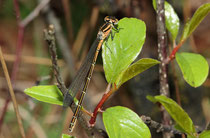 Ein weibliches Jungtier der Speer - Azurjungfer, Coenagrion hastulatum.