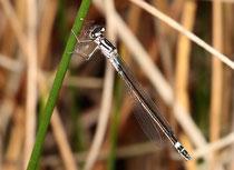Hauben - Azurjungfer, Coenagrion armatum, junges Weibchen (3).