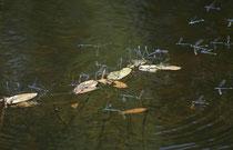 Hufeisen - Azurjungfer (Coenagrion puella), Eiablage in Gesellschaft.