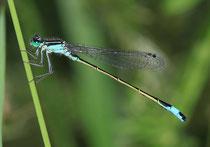 Großen Pechlibelle, Ischnura elegans, erwachsenes Männchen.