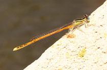 Rote Federlibelle, Platycnemis acutipennis, erwachsenes Männchen (1).