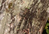 Westliche Geisterlibelle, Boyeria irene, erwachsenes Männchen (1).
