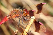 Gebänderte Heidelibelle, Sympetrum pedemontanum, erwachsenes Männchen (4).