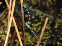Speer - Azurjungfer, Coenagrion hastulatum, Pärchen in Tandemformation.