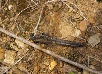 Großer Blaupfeil, Orthetrum cancellatum, reifes Weibchen.