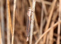 Sibirische Winterlibelle, Sympecma paedisca, junges Weibchen.