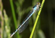 Gemeine Becherjungfer, Enallagma cyathigerum, Weibchen in der blauen Variante.