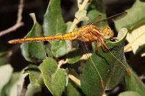 Kleiner Blaupfeil, Orthetrum coerulescens, juveniles Männchen. Beachte die grünen Augen.