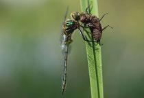 Glänzende Smaragdlibelle, Somatochlora metallica, Männchen nach dem Schlüpfen (2).
