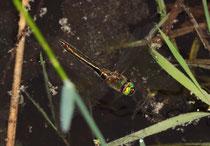 Weibchen bei der Eiablage im Flug (2).