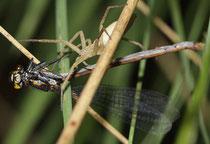 Eine Jagdspinne (Gattung: Pisauridae) überfällt eine Frühe Adonislibelle (Pyrrhosoma nymphula).