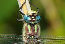Männchen des Frühen Schilfjägers, Brachytron pratense, im Close-up